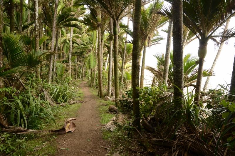 4. Skog med Rhopalostylis sapida eller nikau palm som de säger på engelska.