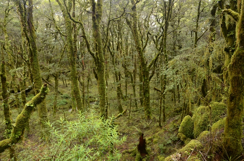 19. Gammalt skogsparti bredvid Gouland Downs Hut.
