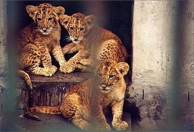 Lejon, Chengdu Zoo.