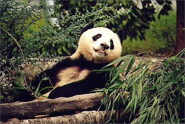 Jättepanda, Chengdu pandapark. Giant panda