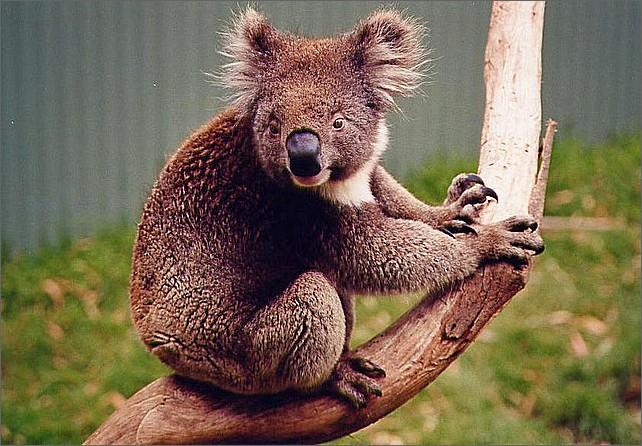Koala, Phillip Island, Australien.