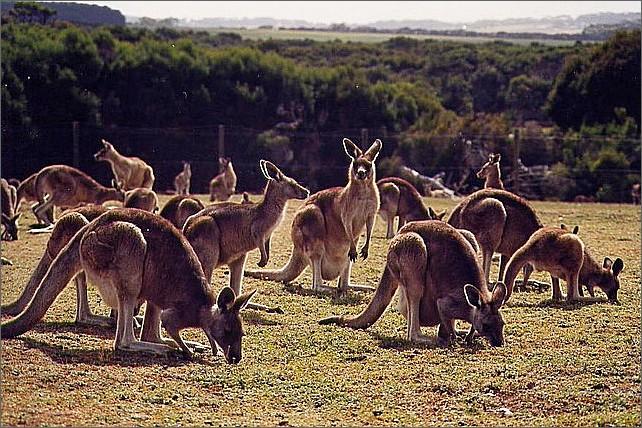 Kängurur, Phillip Island, Australien.
