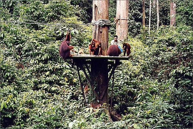 Orangutans, Sepilok Orang Utan Rehabilitation Centre, Borneo, Malaysia.