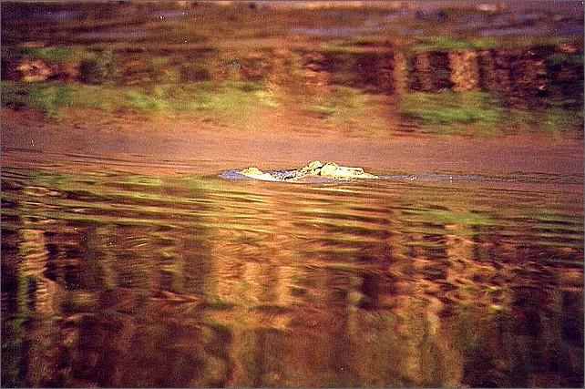 Crocodile, Kinabatangan River, Borneo, Malaysia.
