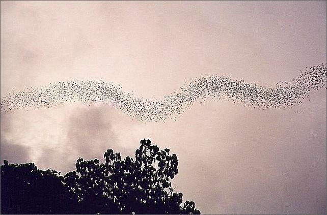 Flying bats, Dear Cave, Gunung Mulu, Borneo, Malaysia.