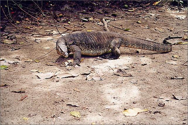 Monitor lizard, Pulau Manukan, Borneo, Malaysia.