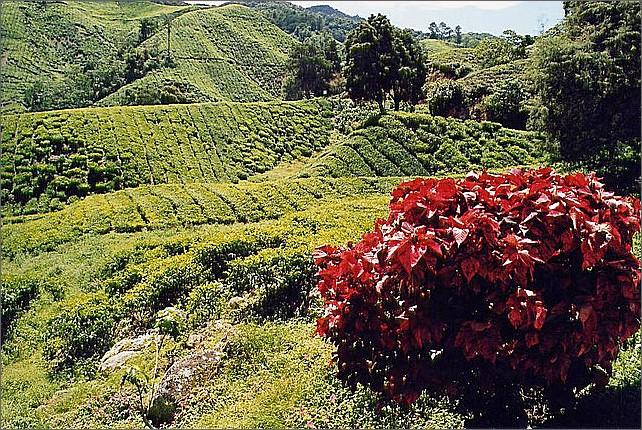 Tea plantation, Cameron Highland, Malaysia.