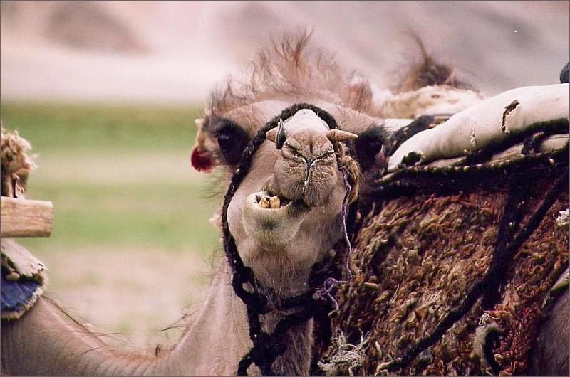 8. Kamel.