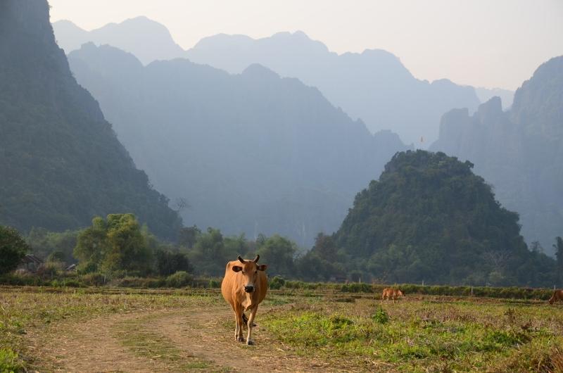 Ko på promenad utanför Vang Vieng.