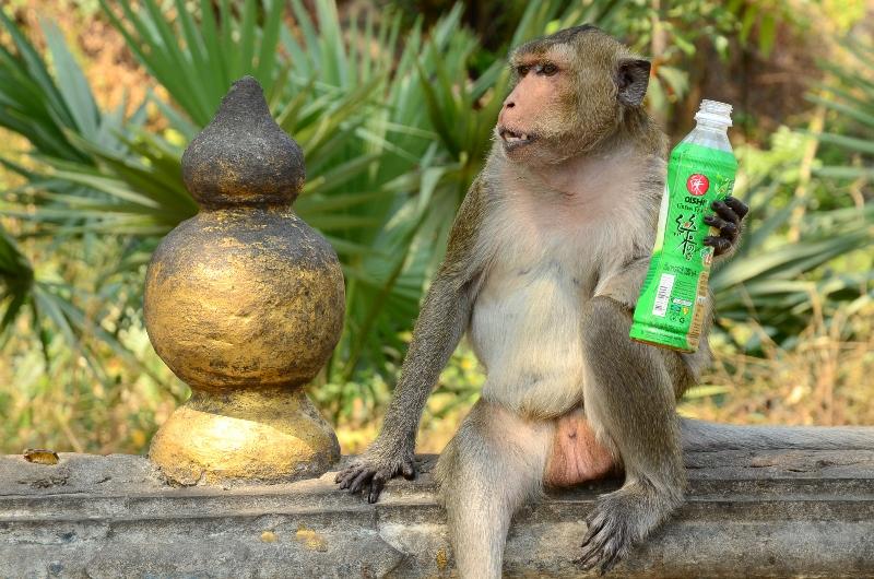 Makak som antagligen snott en dricka av en turist i Phra Nakhon Kriri Historical Park i Petchaburi.