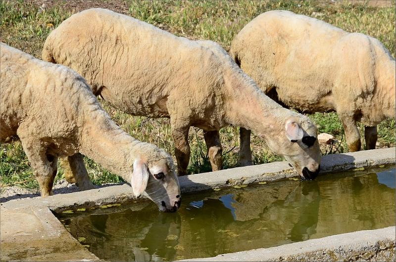 Törstiga får.
