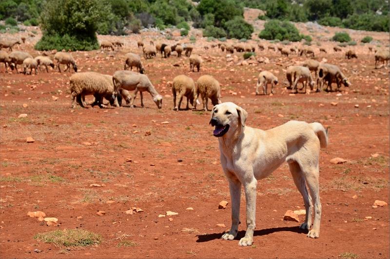 Fick sällskap av en hund en bit och såg längs vägen en hel del får.
