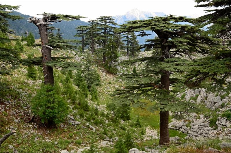 Cedar Forest.