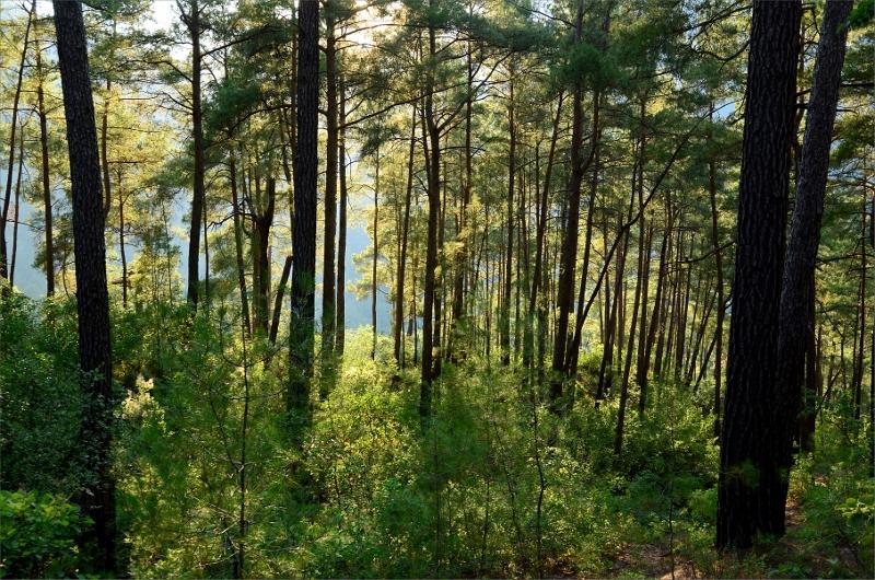 Skog i Göynuk Valley strax innan jag hittade på nattens camping.
