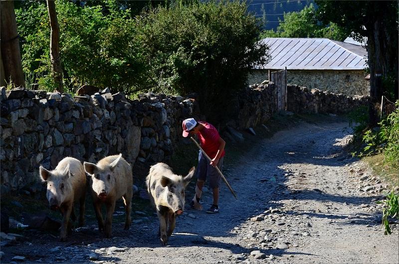 Lokalbo ute och går med sina grisar.