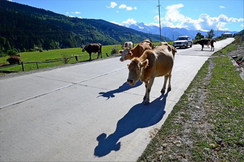 Kor och fordon samsas om vägen i Mestia.